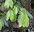Theobroma cacao leaves IMG 0209.jpg