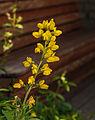 Thermopsis lanceolata. Locatie, Tuinen Mien Ruys.jpg