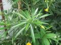 Thevetia peruviana1.jpg