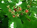Thimbleberries.jpg