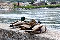 Three ducks Lake Como.jpg