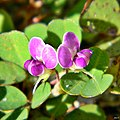 Threeflower ticktrefoil (Desmodium triflorum) (8127164805).jpg