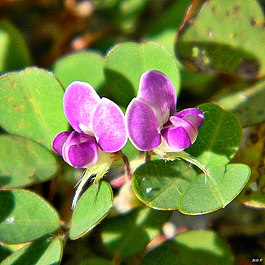 Desmodium triflorum}}