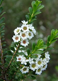 <i>Thryptomene calycina</i> species of plant