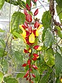 Thunbergia mysorensis - Copenhagen Botanical Garden - DSC07970.JPG