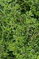 Thymus Pink Ripple 1zz.jpg