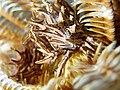 Tiaramedon spinosum.jpg
