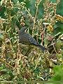 Tickell's Leaf Warbler (Phylloscopus affinis) (23538024710).jpg
