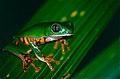 Tiger-striped Leaf Frog (Phyllomedusa tomopterna) (10381782405).jpg
