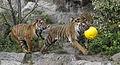 TigerCubs2.jpg