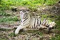 TigerTwo.jpg