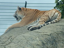 Tiger (IOW Zoo).jpg