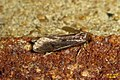 Tinea pellionella (BG) (36825857024).jpg
