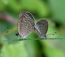 Tiny Grass Blue, Zizula gaika mating in Talakona forest, AP W IMG 8115.jpg