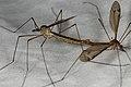 Tipula lateralis (36385445000).jpg