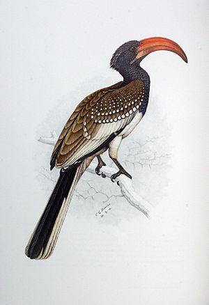 Monteiro's hornbill - Image: Tockus monteiri 00a