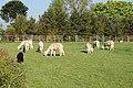 Toft Alpacas (3) - geograph.org.uk - 1286597.jpg