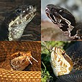 Top row, northern cottonmouth (Agkistrodon piscivorus), bottom row, Florida cottonmouth (Agkistrodon conanti).jpg