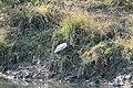 Tortuga Japonesa - panoramio (3).jpg