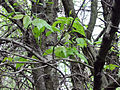 Toxicodendron radicans 00073.jpg