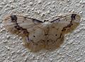 Treble Brown Spot. Idaea trigeminata (4771092962).jpg