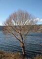 Tree in the lake of Nemi2015.jpg