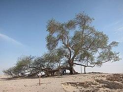 Tree of Life, Bahrain - ജീവന്റെ മരം, ബഹ്റൈൻ 01.JPG