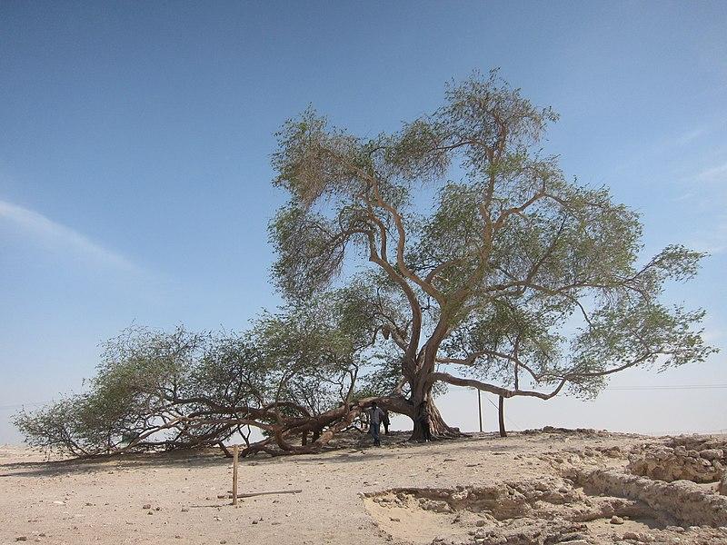 File:Tree of Life, Bahrain - ജീവന്റെ മരം, ബഹ്റൈൻ 01.JPG