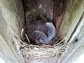 Tree swallow nest.jpg