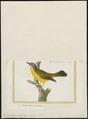 Trichas aequinoctialis - 1700-1880 - Print - Iconographia Zoologica - Special Collections University of Amsterdam - UBA01 IZ16300065.tif