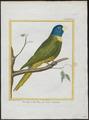 Trichoglossus novae hollandiae - 1700-1880 - Print - Iconographia Zoologica - Special Collections University of Amsterdam - UBA01 IZ18500215.tif