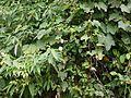 Trichosanthes tricuspidata (14540685963).jpg