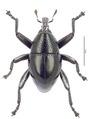 Trigonopterus laetus (Lea).tif