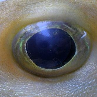 Threetooth puffer - Image: Triodon macropterus JNC2989 Eye