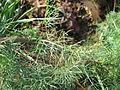 Tripleurospermum maritimum subsp inodorum leaf1 (16191010618).jpg