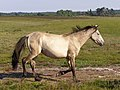 Trotting pony at Shatterford Bottom, New Forest - geograph.org.uk - 208237.jpg