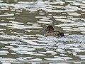 Tufted Duck (Aythya fuligula) (45911646922).jpg