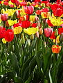 Tulips, Boston Public Garden, Boston, Massachusetts.jpg