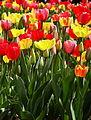 Tulips, Boston Public Garden, Boston, Massachusetts.jpg