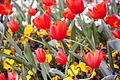 Tulips in Desenzano del Garda 2.jpg