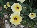 Turnera ulmifolia - 5.JPG
