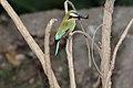 Turquoise-Browed Motmot (Eumomota superciliosa) (5772394206).jpg