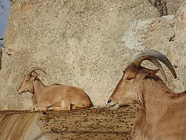 Two Barbary sheep.JPG