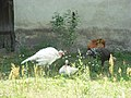 Two white turkeys one brown and a hen.JPG