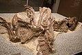Tyrannosaur fossil.jpg
