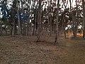 UCSD Eucalyptus Grove 2 2013-08-29.jpg