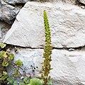 Umbilicus rupestris-Hampe florale-20150412.jpg
