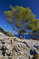 Un pino molto resistente - panoramio.jpg
