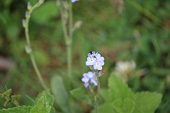 Unidentified insect on Boraginaceae-genus flower in India, 2016.jpg