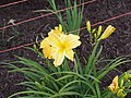 Unknown Daylilies on West Slope S4 - 9293303183.jpg